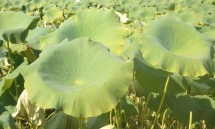 40_lotus_plants_after_flowering.jpg